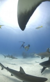 Freediving with Caribbean reef sharks, Bahamas. Photo © Veruschka Matchett