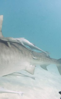 Filming tiger sharks in the Bahamas.