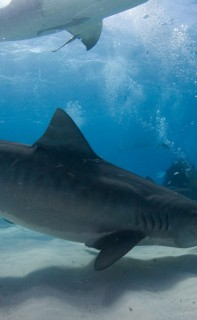 Filming tiger sharks in the Bahamas. Photo © Jim Abernethy scuba-adventures.com