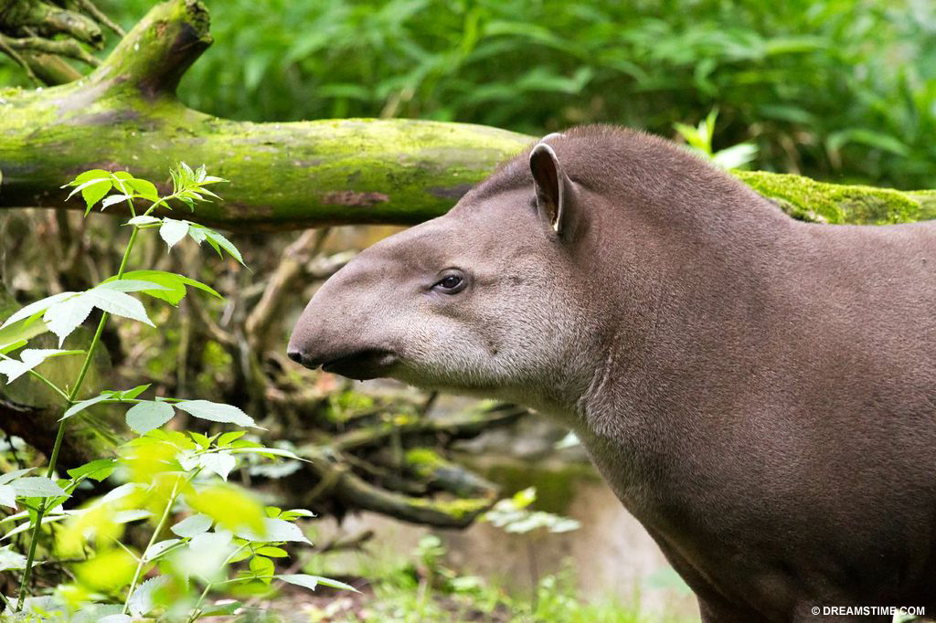 The Brazilian tapir is already extinct in parts of Brazil and under threat elsewhere from deforestation, illegal hunting and competition with livestock.