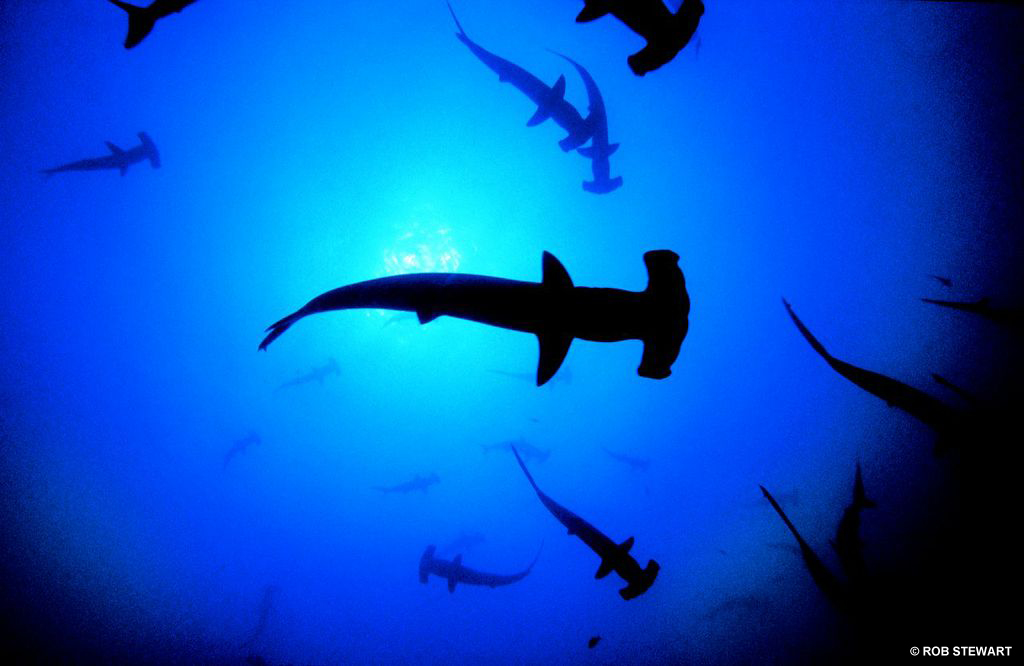 Hammerhead sharks - The ocean is getting more acidic as it removes excess carbon dioxide in the atmosphere.