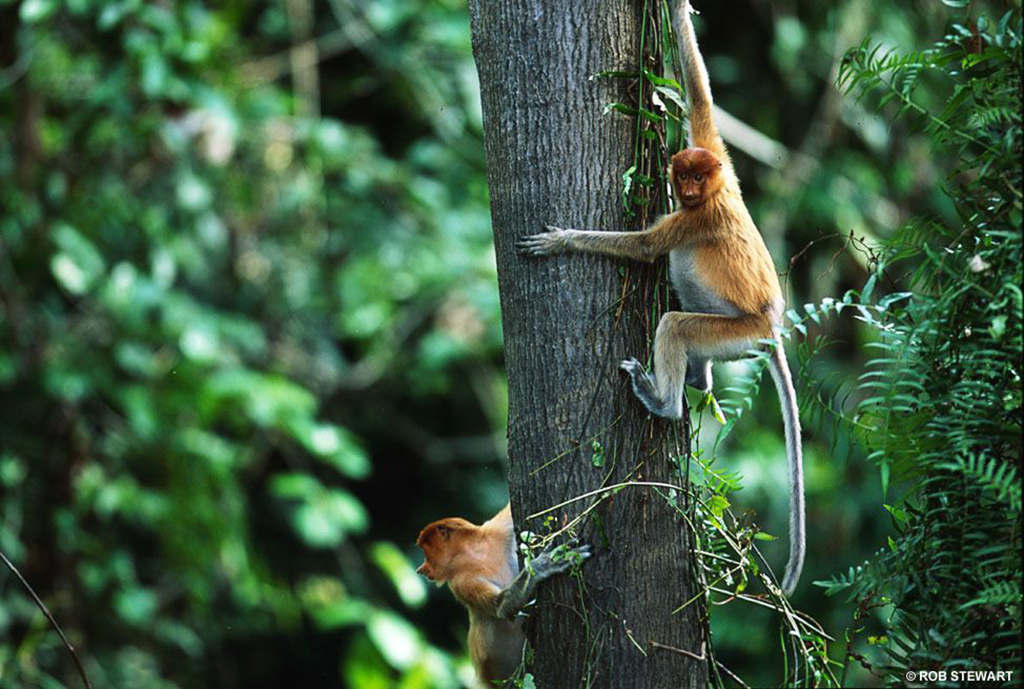 Living only in the forests of Borneo, proboscis monkeys are endangered due to deforestation