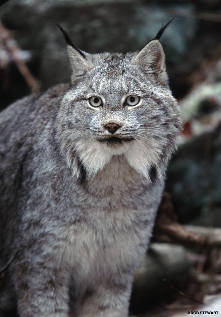 A lynx territory is approximately 15 to 25 square kilometres but can triple in size when food is scarce