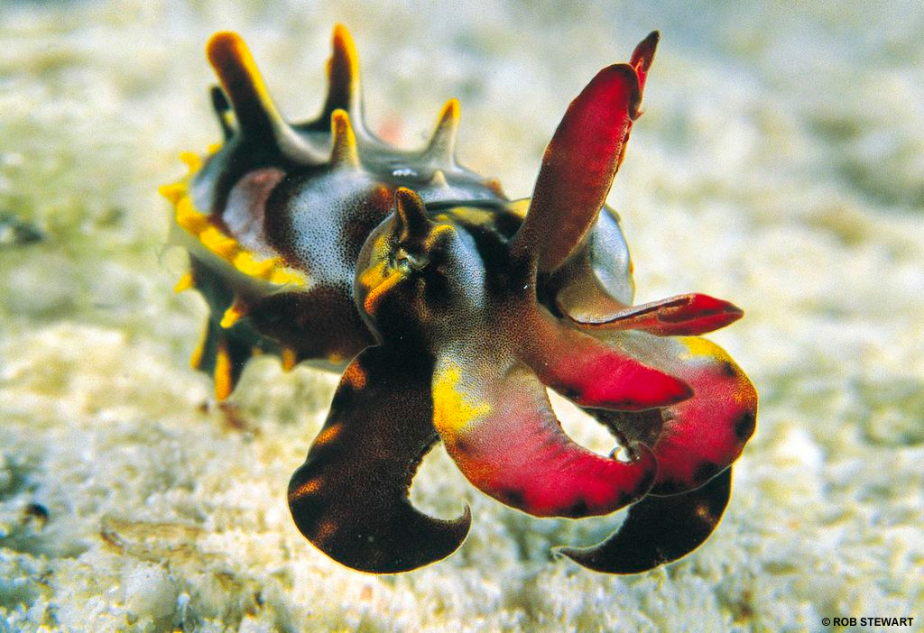 The flamboyant cuttlefish is the most highly evolved cephalopod in the world