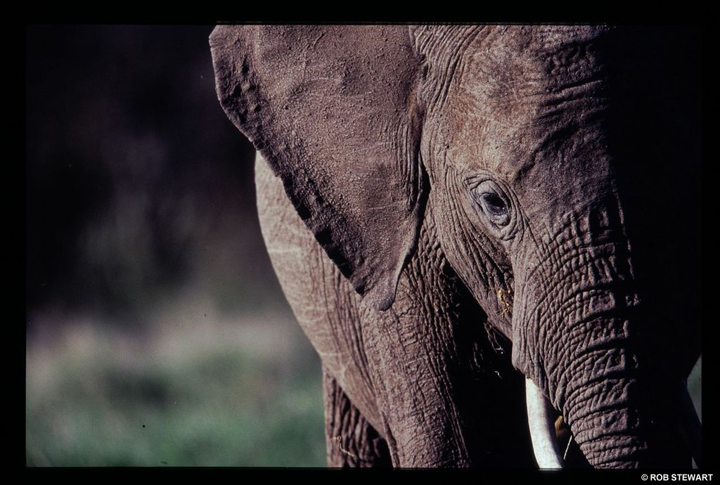 The elephant is one of the species at risk