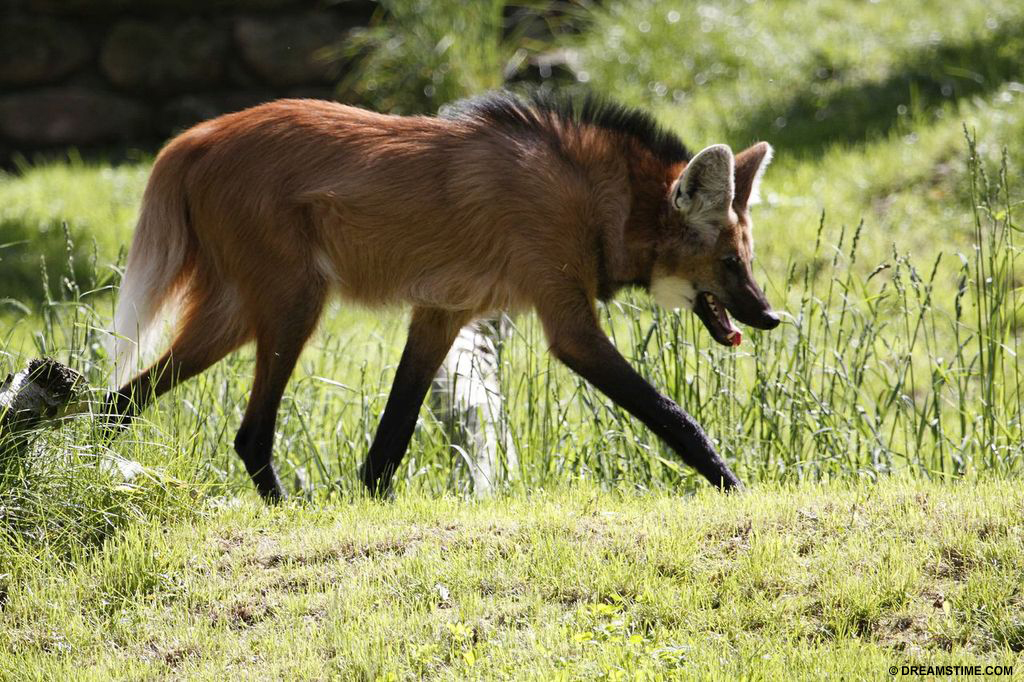 Species affected by soybean crops include the maned wolf and giant anteater in Brazil Maned Wolf
