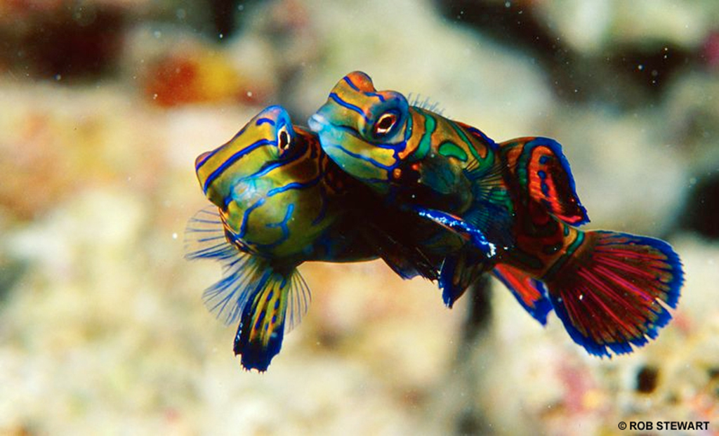 The psychedelic mandarinfish are reef dwellers, and another species at risk
