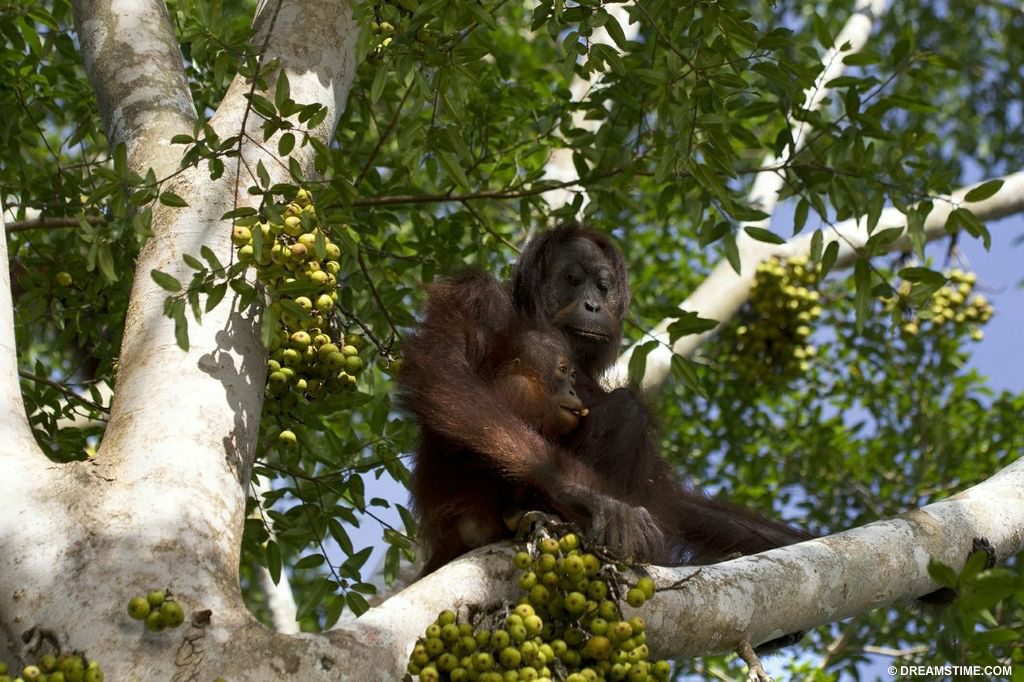 Orangutans fight to survive deforestation