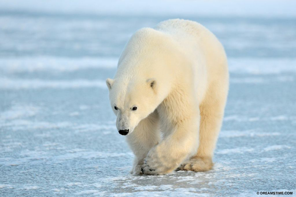 Polar Bear - Canada is home to 60 percent of the world polar bear population.