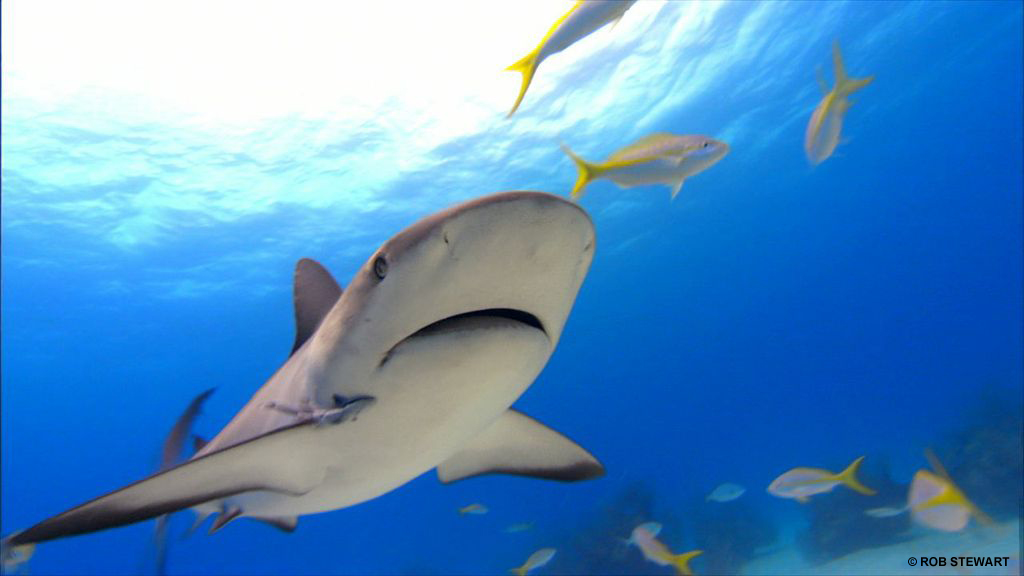 Underwater still footage from Rob Stewart`s first documentary Sharkwater
