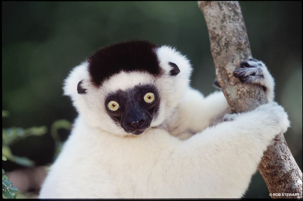 Lemurs are native only to Madagascar. Seventy species of lemurs are found on the island.