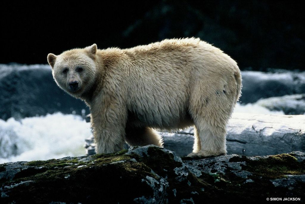 The white Kermode also referred to as a Spirit Bear is becoming extinct with less than four hundred remaining around the world. Photo Credit: Simon Jackson