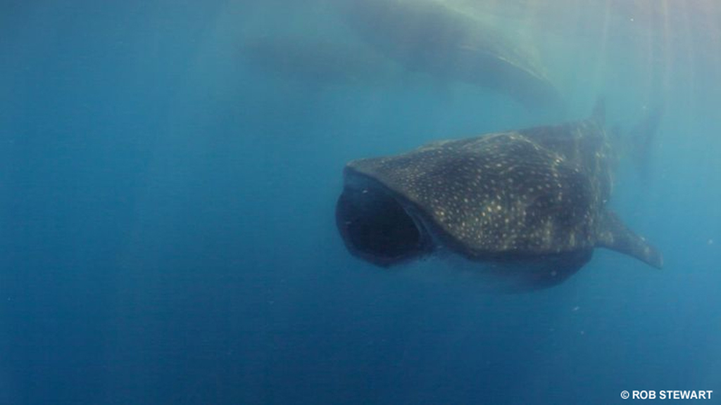 The whale shark is world's biggest fish