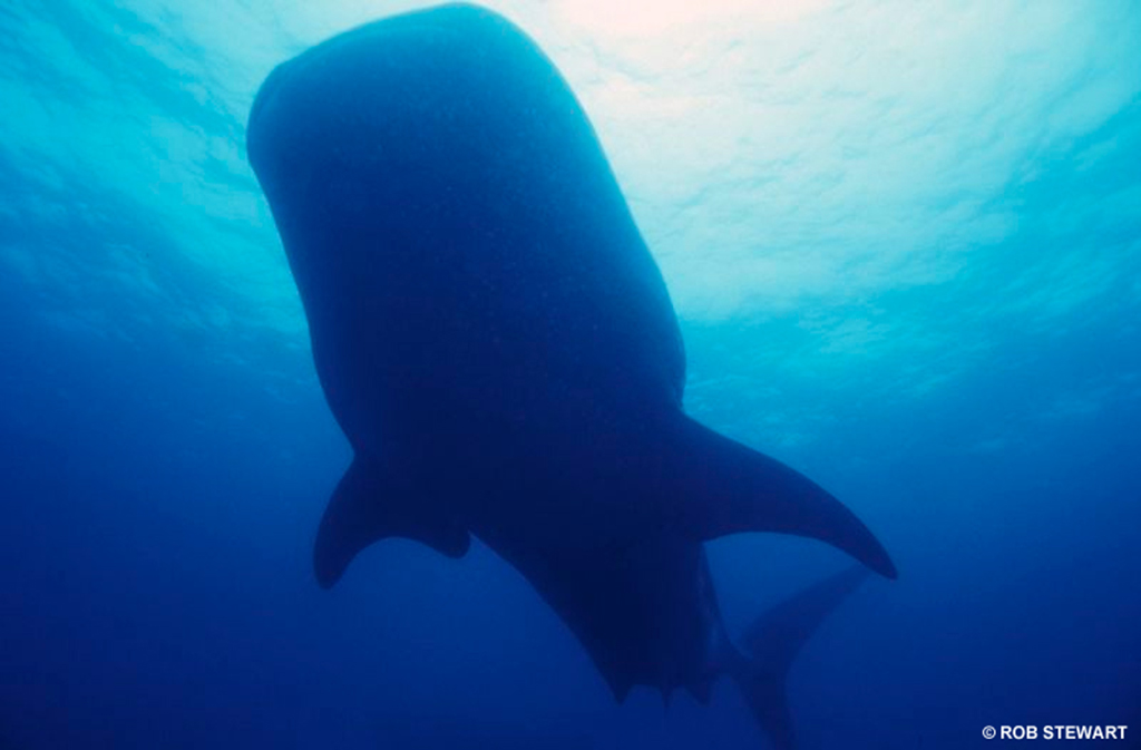 Whale sharks can reach 18 metres in length. They, like the blue whale, have a diet heavy in zooplankton.