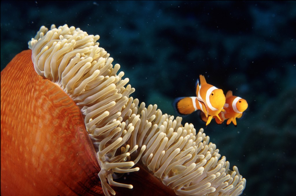 Clown Anemonefish. Great Barrier Reef, Australia. Photo © Rob Stewart. From the documentary film Revolution.