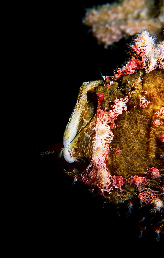 This Commerson's Frogfish is yawning, in Milne Bay, Papua New Guinea. Photo © Rob Stewart. From the documentary film Revolution.