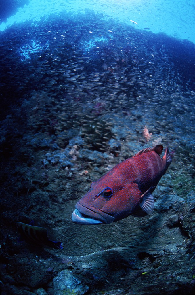 Coral Trout on Yongala Wreck, Australia. Photo © Rob Stewart. From the documentary film Revolution.