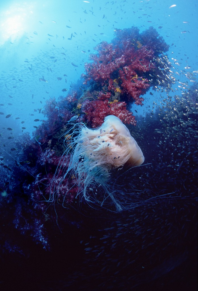 Jellyfish with Juvenile Jacks on Yongala Wreck, Australia. Photo © Rob Stewart. From the documentary film Revolution.