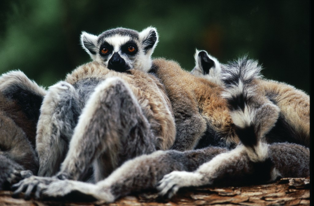 Ring tailed lemurs cuddling, Berenty Reserve, Madagascar. Photo © Rob Stewart. From the documentary film Revolution.