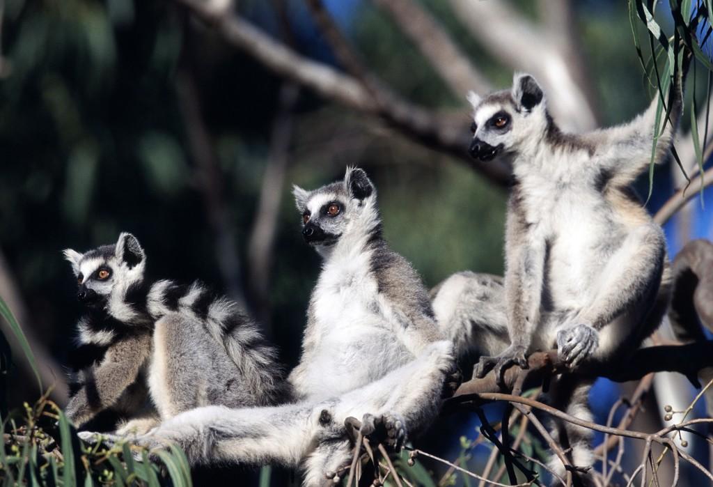 Ring tailed lemurs, Berenty Reserve, Madagascar. Photo © Rob Stewart. From the documentary film Revolution.