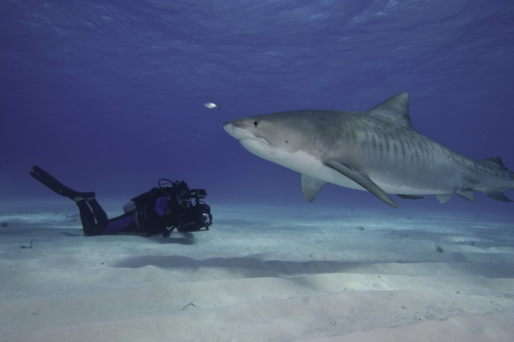 Filming Tiger sharks in the Bahamas. Photo credit Eric Cheng. http://www.echeng.com/