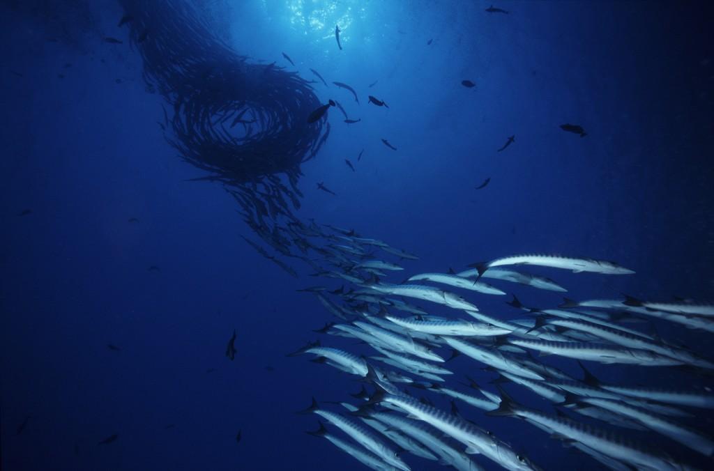 School of Fish. Photo © Rob Stewart