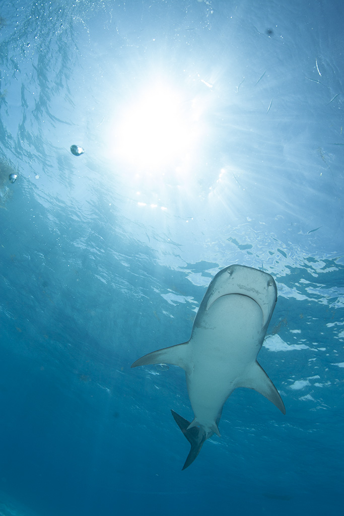 Tiger shark, Bahamas.