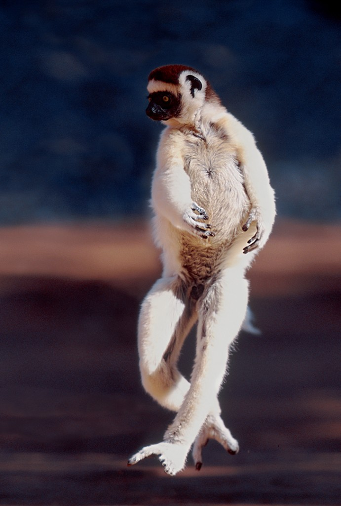 Sifakas have feet shaped for grasping branches, so have to dance sideways when traversing clear cut areas. 90 per cent of Madagascar's forests are gone.