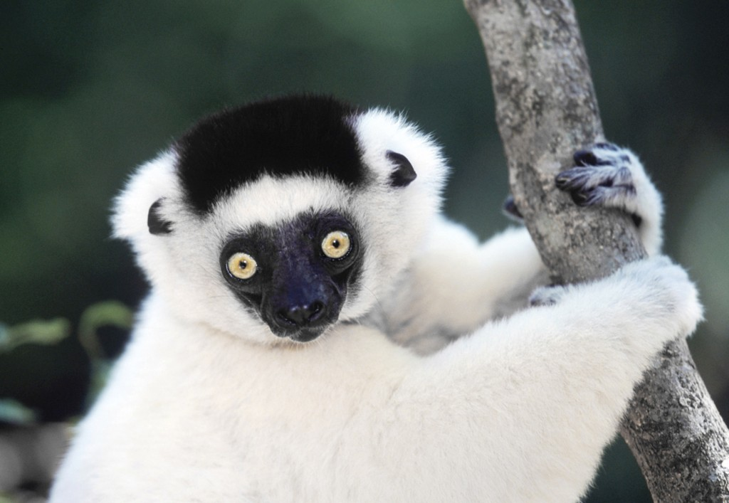 Shifaka, Madagascar. Lemurs are primitive primates, and exist only in Madagascar, where their isolation has kept them from being out-competed by other prmiates like monkeys!