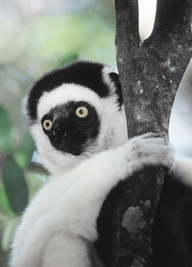 Sifaka, Madagascar. Lemurs are primitive primates, and exist only in Madagascar, where their isolation has kept them from being out-competed by other primates like monkeys!