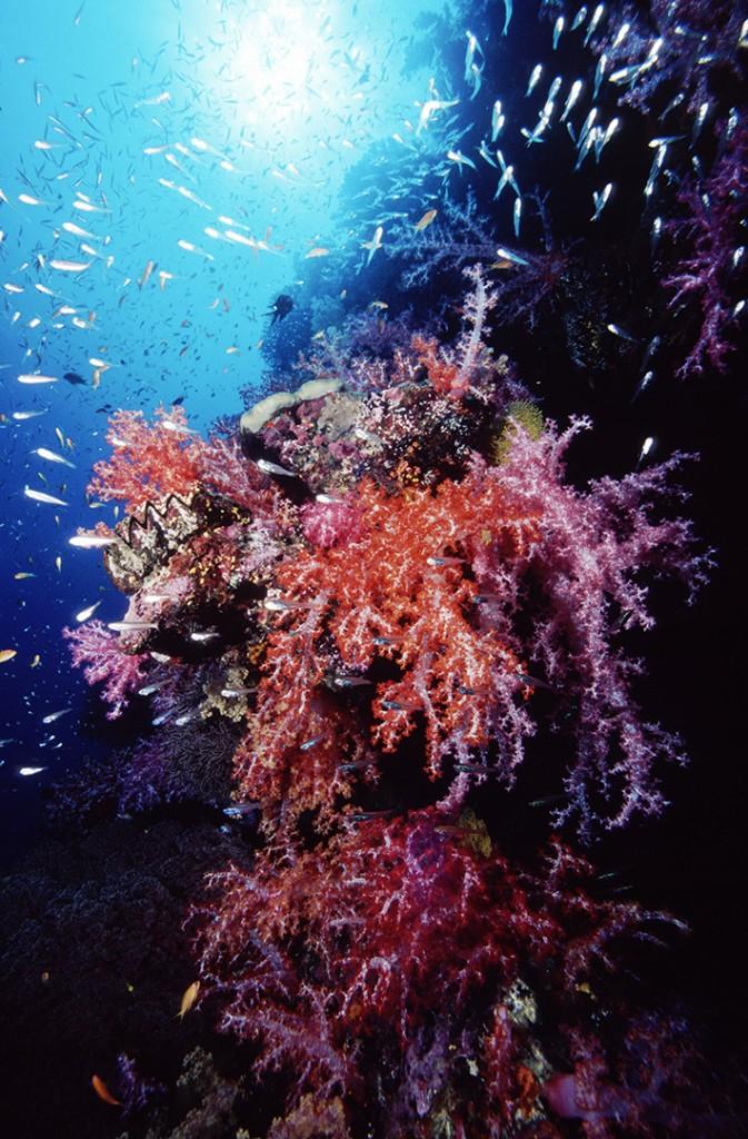 Soft Coral, Myanmar.