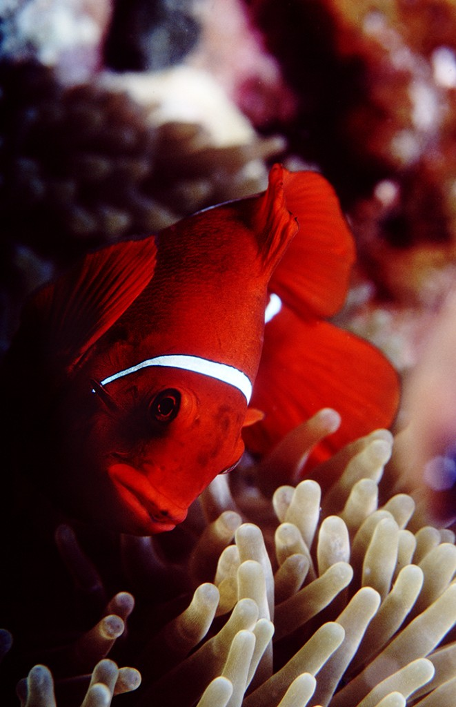 Spine Cheeked anemonefish photographed on Steve's Bommie, Coral Sea, Australia Photo © Rob Stewart