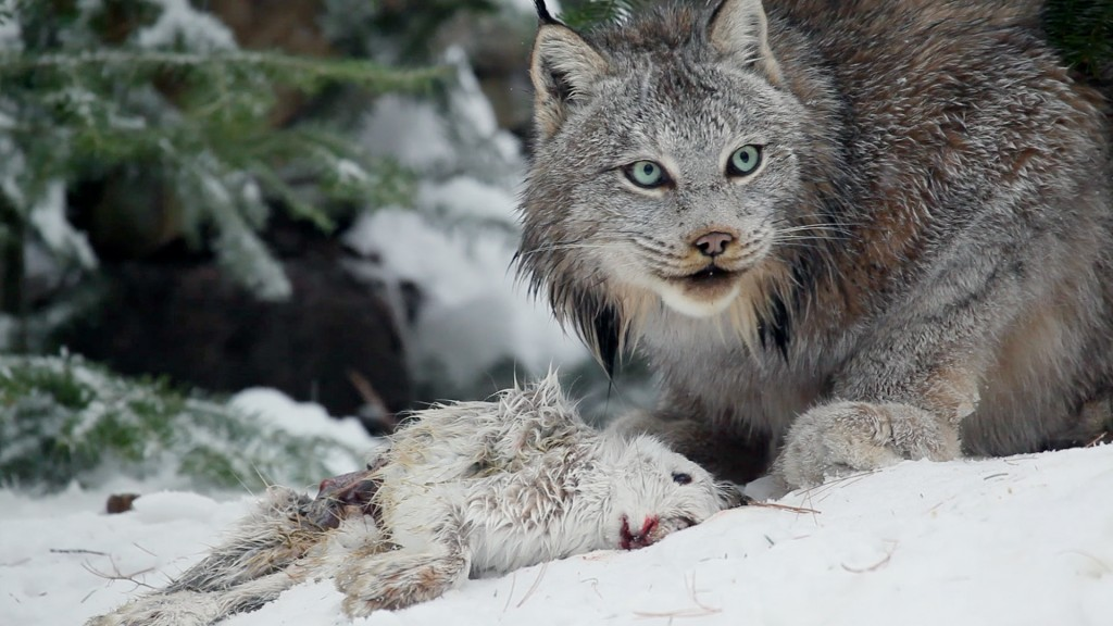 The Canadian Lynx. Ontario, Canada. With abundant food, the lynx overpopulate and over consume, until their prey, hares are almost gone, forcing their own populations down. Lynx and their prey boom and bust every 14 years. Photo © Rob Stewart. From the documentary film Revolution.