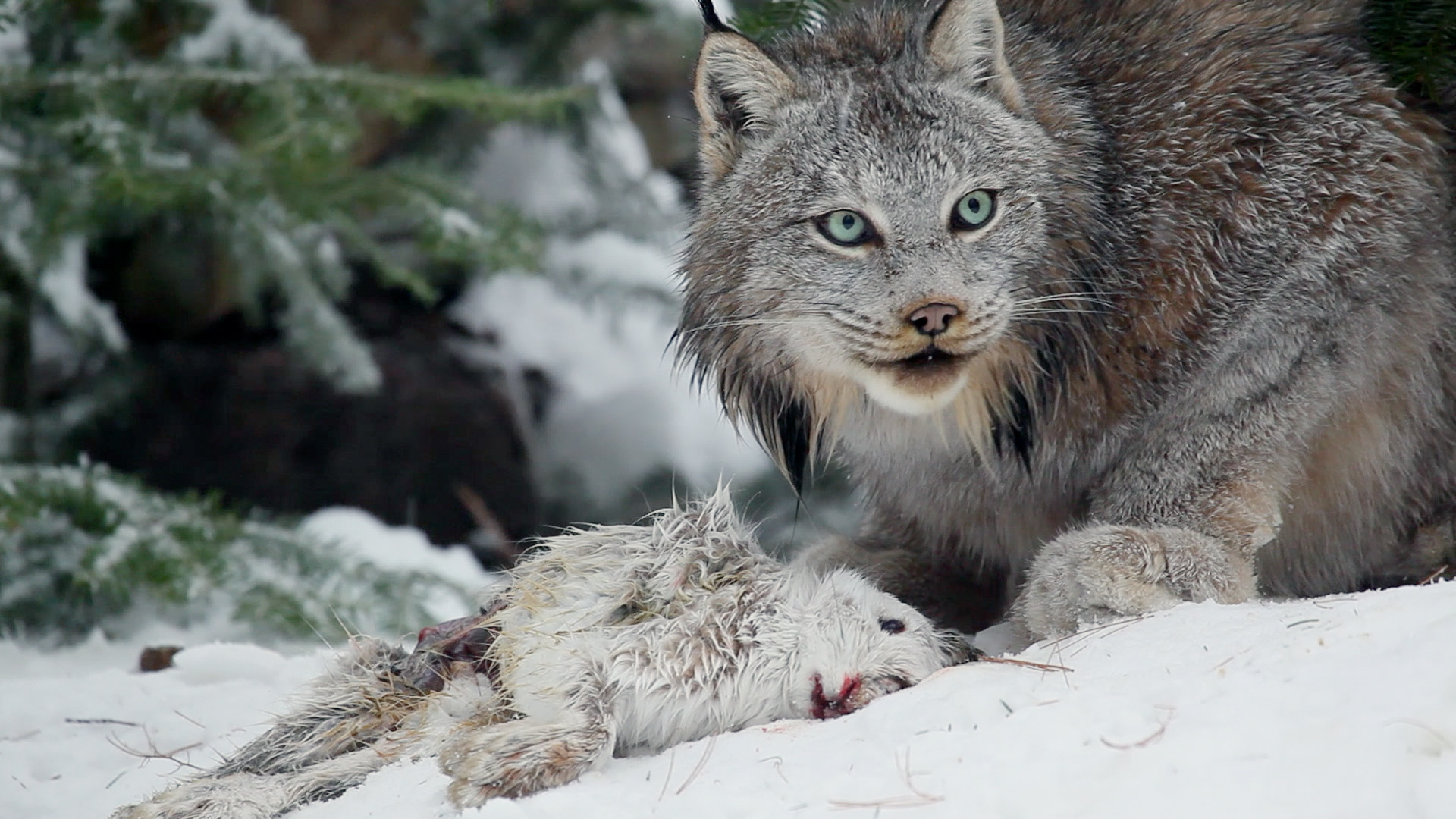 a research on the lynx a great hunter of the wild Forest of the lynx premieres wednesday, april 26, 2017 at 8 pm (et) on pbs (check local listings) austria's kalkalpen national park, nestled three years in the making, forest of the lynx chronicles life in this remote wilderness and the complex partnerships among plants, insects, animals and trees.